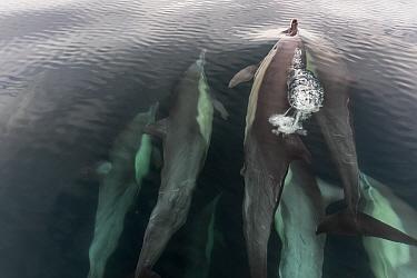 Long Beaked Common Dolphin (Delphinus capensis), Espiritu Santo National Park, Sea of Cortez (Gulf of California), Mexico, February