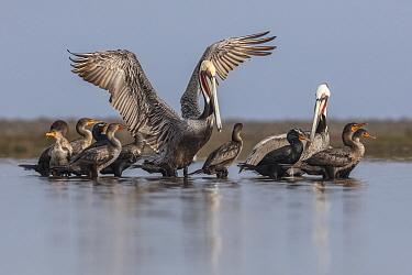 Brown Pelican (Pelecanus occidentalis) and Double-crested Cormorant (Phalacrocorax auritus), Guerrero Negro, El Vizcaino Biosphere Reserve, Baja California, Mexico, March