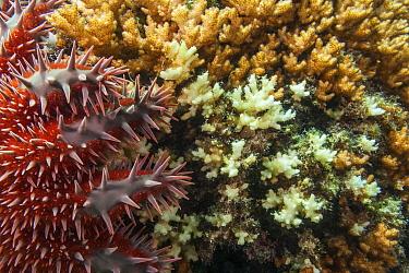 Crown of thorns seastar (Acanthaster planci) eating coral, Espiritu Santo National Park, Sea of Cortez (Gulf of California), Mexico, February