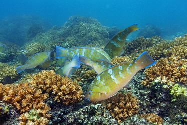 Bluechin parrotfish (Scarus ghobban) juvenile group, Espiritu Santo National Park, Sea of Cortez (Gulf of California), Mexico, February