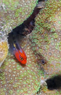 Redhead Goby (Elacatinus punticulatus), Espiritu Santo National Park, Sea of Cortez (Gulf of California), Mexico, February