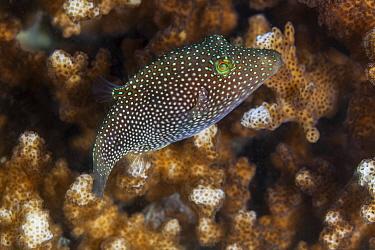 Spotted sharpnose puffer fish (Canthigaster punctatissima), Espiritu Santo National Park, Sea of Cortez (Gulf of California), Mexico, February