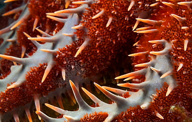 Crown of Thorns seastar (Acanthaster planci) detail, Espiritu Santo National Park, Sea of Cortez (Gulf of California), Mexico, February