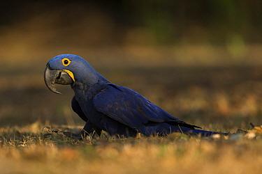 Hyacinth macaw (Anodorhynchus hyacinthinus) feed on palm nuts, Pantanal, Brazil.