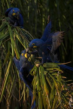 Hyacinth macaws (Anodorhynchus hyacinthinus) feed on palm nuts, Pantanal, Brazil.
