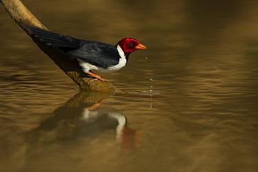 Yellow billed cardinal (Paroaria capitata) drinks Pantanal, Brazil.