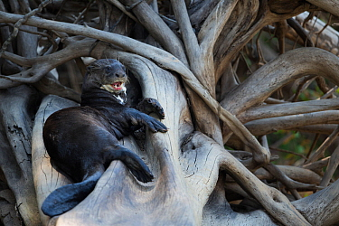 Giant otter (Pteronura brasiliensis) rests on a fallen tree in the Rio Cuiaba, Brazil