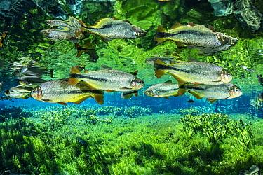 Piraputanga fish (Brycon hilarii), reflected on the water surface, Aqu�rio Natural, Bonito, Mato Grosso do Sul, Brazil