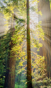 Giant redwood trees (Sequoia sempervirens) Prairie Creek Redwoods State & National Park, California, USA, May.