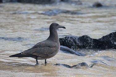 Lava gull (Larus fuliginosus) near Dragons Hill, Santa Cruz Island, Galapagos Islands, Ecuador.