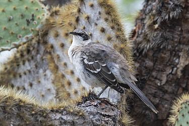 Galapagos mockingbird (Mimus parvulus) perched on cactus. Santa Cruz Island, Galapagos Islands, Ecuador.
