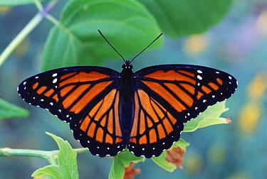 Viceroy butterfly {Limenitis archippus} mimics poisonous Monarch butterfly. NJ, USA