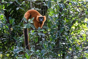Red ruffed lemur (Varecia rubra) female in understorey of lowland rainforest. Masoala National Park, north-east Madagascar.
