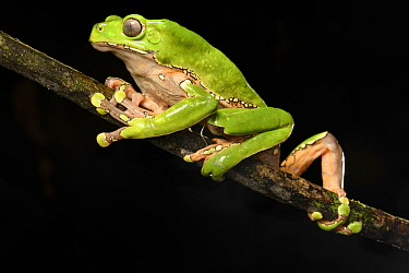Giant waxy monkey / Leaf frog (Phyllomedusa bicolor) climbing on branch at night. Manu Biosphere Reserve, Peru.