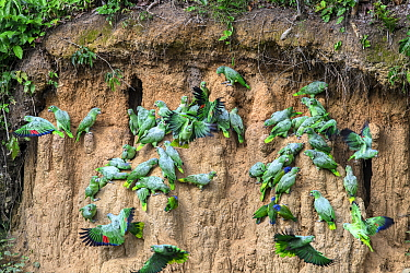 Mealy parrot (Amazona farinosa) and Blue-headed parrot (Pionus menstruus) flock feeding at clay lick. Manu Wildlife Center, Manu Biosphere Reserve, Peru.