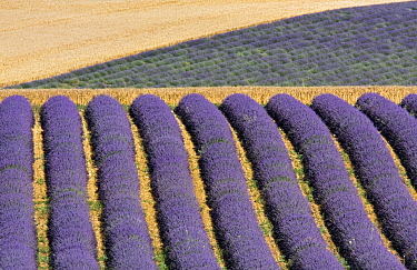 Lavender fields, Plateau de Valensole, Provence, France. July 2008