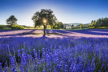 Lavender fields at sunset, Aurel, Provence, France, July 2016.