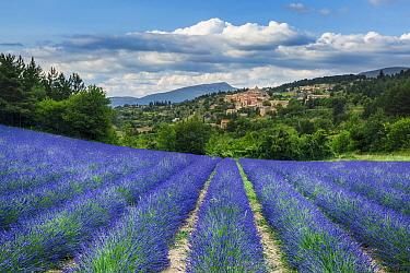Lavender fields, Aurel, Provence, France. July 2014