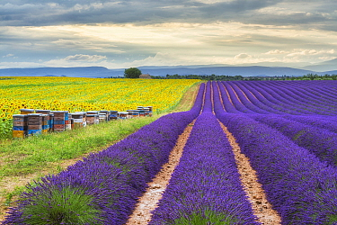 Bee hives lined up in field of lavender and sunflowers, Valensole Plateau, Provence, France. July 2014