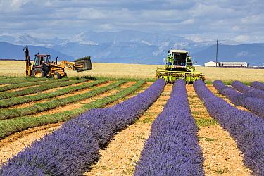 Lavender Harvest, Plateau de Valensole, Provence, France. July 2014