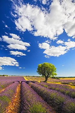 Lavender fields, Valensole Plataeu, Provence, France. July 2014
