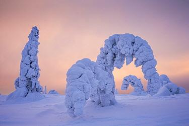Trees bent in snow, Riisitunturi in winter, Kuusamo, Lapland, Finland. January 2016
