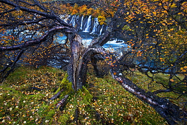 Birch tree (Betula sp) next to waterfall, Iceland. Runner-Up in the Plants category of the International OasisPhotoContest 2018