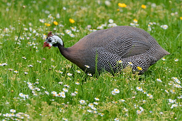 Helmeted guineafowl (Numida meleagris) peering at Soldier beetle (Cantharis rustica) with warning colouration, whilst foraging for insects in meadow. Domesticated. Near Bath, England, UK. May.