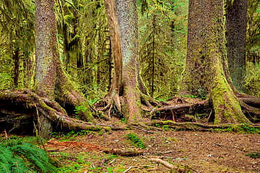 Row of trees which have grown from a fallen nurse log, Spruce Loop, Hoh Rain Forest of Olympic National Park, Washington, USA, April.