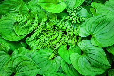 False lily of the valley (Maianthemum dilatatum) and a fern in Olympic National Park, Washington, USA, April.