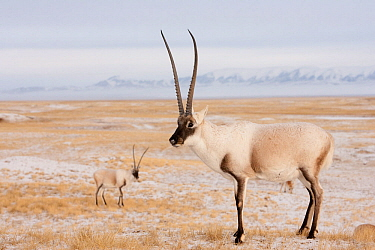 Tibetan antelope (Pantholops hodgsonii) males on snowy ground, Kekexili, Qinghai, Tibetan Plateau, China, November