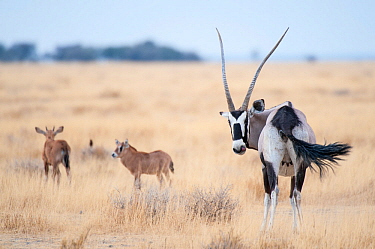 Gemsbok (Oryx gazella) female with two calves, Namibrand Reserve, Namib Desert, Namibia