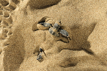 Loggerhead sea turtle (Caretta caretta) hatchlings emerging from nest buried in the sand, Turkey, July.