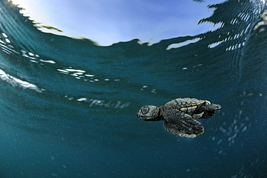 Loggerhead sea turtle (Caretta caretta) hatchling swimming out into the sea, Turkey. July.