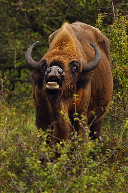 European bison or Wisent (Bison bonasus) male vocalising, Kraansvlak, Kennemerduinen, in the Zuid Kennemerland National Park, Netherlands. Images taken in a huge enclosure, where the bison live a comp...