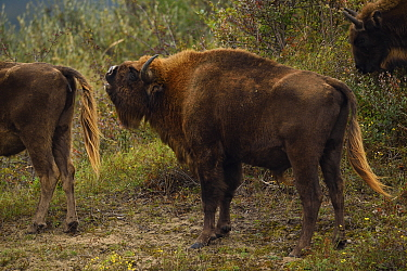 European bison or Wisent (Bison bonasus) male sniffing female in herd at Kraansvlak, Kennemerduinen, in the Zuid Kennemerland National Park, Netherlands. Images taken in a huge enclosure, where the bi...