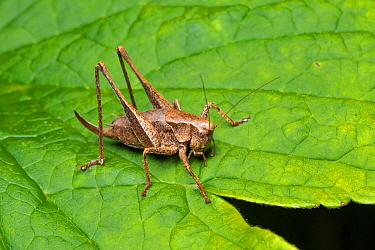 Dark bush cricket (Pholidoptera griseoaptera) female, Whitelye, Monmouthshire, Wales, UK