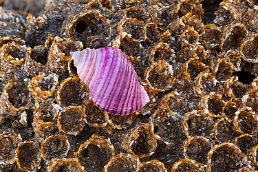 Rare purple form of Dog whelk (Nucella lapillus) resting on a colony of honeycomb worms (Sabellaria alveolata) on the shore at Nash Point, Glamorgan.
