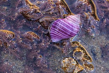 Rare purple form of Dog whelk (Nucella lapillus) on the shore at Nash Point, Glamorgan.