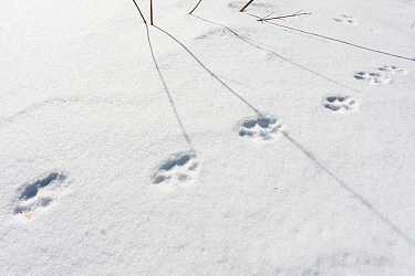 Wild Apennine wolf (Canis lupus italicus) tracks in snow. Central Apennines, Abruzzo, Italy. February.