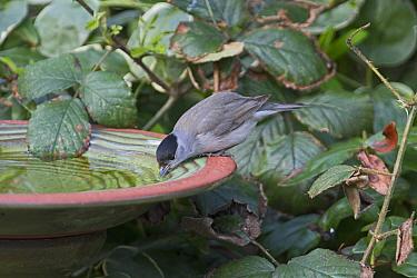 Eurasian blackcap (Sylvia atricapilla) drinking at garden bird bath, Norfolk, England, UK. April.