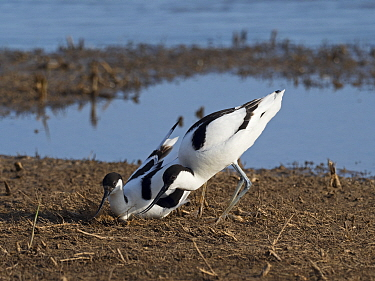 Pied avocet (Recurvirostra avosetta) pair at nest site with female making nest scrape North Norfolk, England, UK. May
