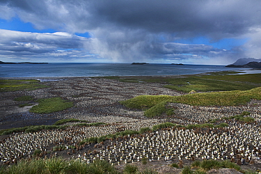 Looking down on the vast King Penguin (Aptenodytes patagonicus) colony at Salisbury Plain, South Georgia.