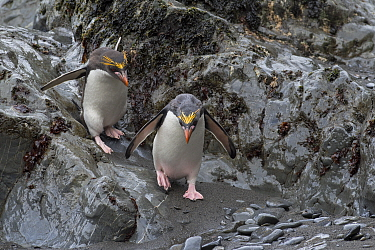 Macaroni penguins (Eudyptes chrysolophus) Hercules Bay South Georgia January