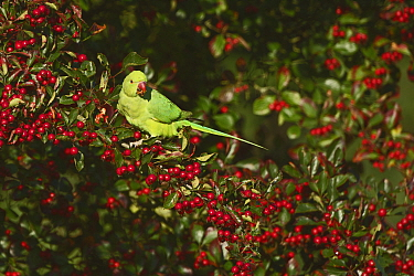 Ring-necked parakeet (Psittacula krameri) feeding in Hawthorn, Richmond Park London, England, UK. October