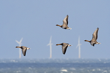 Pink-footed geese (Anser brachyrhynchus) flying against strong northerly wind off Salthouse North Norfolk, wind turbines in sea in background, England, UK. November