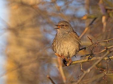 Dunnock (Prunella modularis) in song North Norfolk, England, UK. February