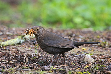 Blackbird (Turdus merula) female collecting mealworms for young at nest in garden Norfolk, England, UK.