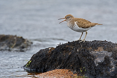 Common sandpiper (Actitis hypoleucos) calling from boulder in river, Caithness, Scotland, UK. May.