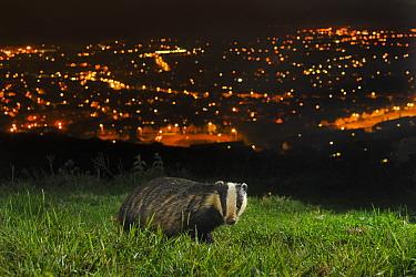 European Badger (Meles meles) on the North Downs above Folkestone, Kent, UK, June. Camera trap photo.